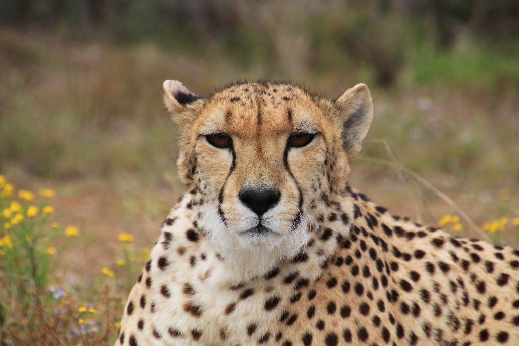 Cheetah laying on he ground
